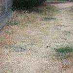 冬枯れの芝生