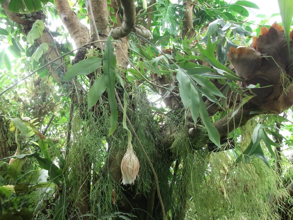 森林性シャボテン
