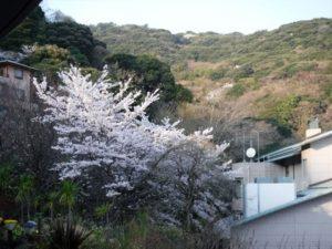 伊豆山の桜